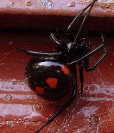 Who knew that the scary Black Widow spider could show so much heart