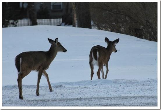 deer 009