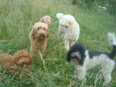 hello Labradoodles