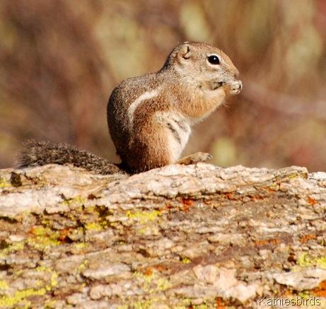 3. Antelope Groundsquirrel-kab