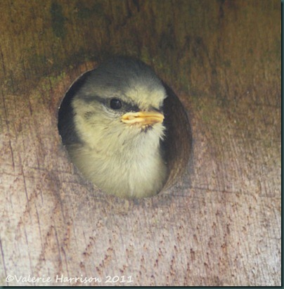 19baby-bluetit