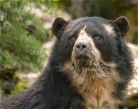 Amazing Pictures of Animals, Photo, Nature, Incredibel, Funny, Zoo, Spectacled bear, Tremarctos ornatus, Mammals, Alex (13)