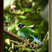 Long-Tailed-Broadbill05.jpg