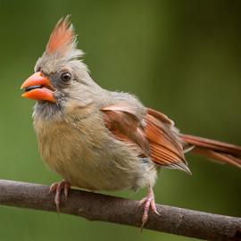 Pretty Lady by Janet Lyle - Animals Birds ( cardinal, wildlife, birds )