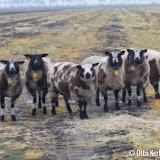 Loslopende schapen langs de N367 achter Smurfit Kappa Oude Pekela - Foto's Otto Kerbof