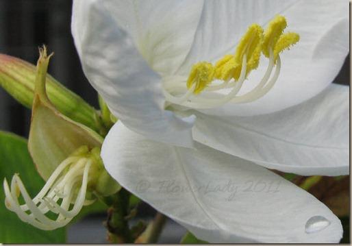 06-11-dwarf-orchid-bahinia3