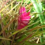 een van de vele soorten tilantioa's Bloeit hier in de winter.