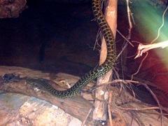 2009.05.16-030 anaconda jaune