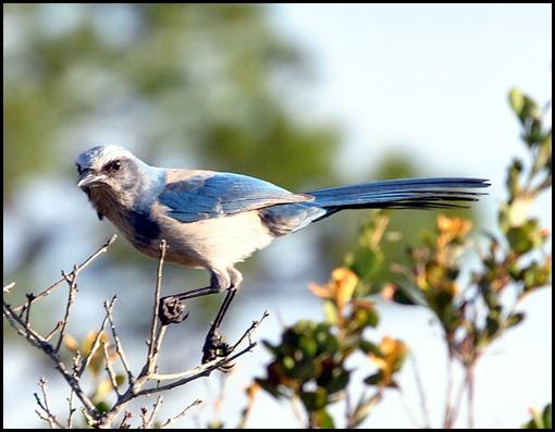 Scrub Jay Angry Bird