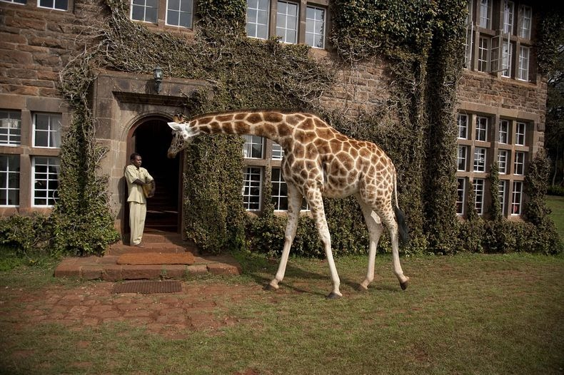giraffe-manor-12
