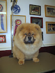 Yes, I deserve to be photographed next to these blue ribbons! I am a wonderful example of a champion Chow Chow!