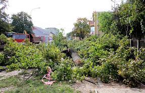 В Ужгороде на Швабской срежут все деревья 2.jpg