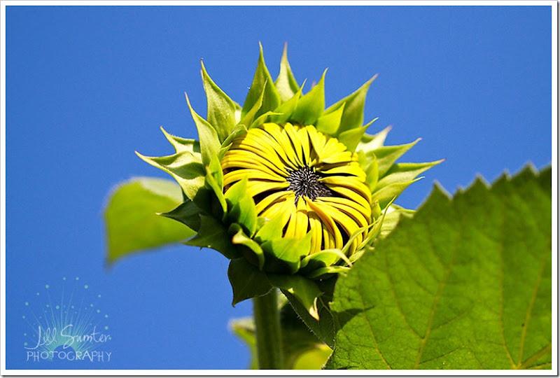sunflower-5537
