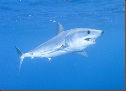 Tiburon Sardinero