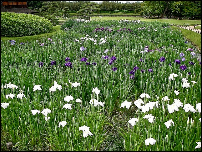 Iris Planatation, Korakuen Garden in Okayama, Japan