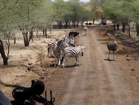 Zebre in safari