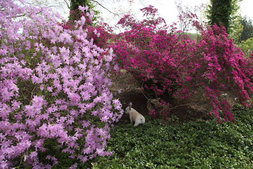 The leaves of azaleas tend to be thinner, softer, and more pointed than rhododendron leaves, which can be quite large.