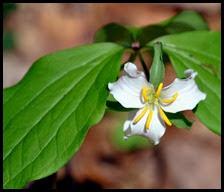 04 - Spring Wildflowers - Trillium - Catesby's