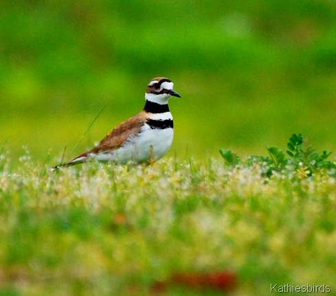 10. Killdeer Killingly, CT-kab