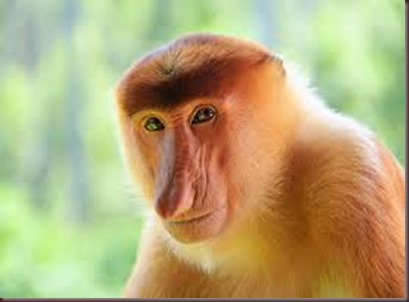 Amazing Pictures of Animals photo Nature exotic funny incredibel Zoo Proboscis monkey, long-nosed monkey, mammalia.Alex (2)