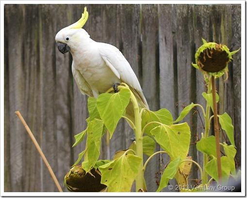 CockatooSunflowersIMG_6479