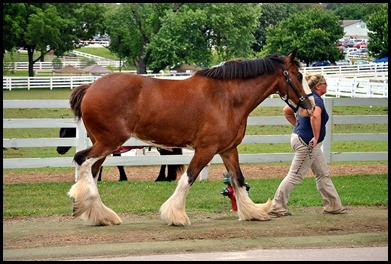 06e - around the grounds - taking a Clydesdale for a walk