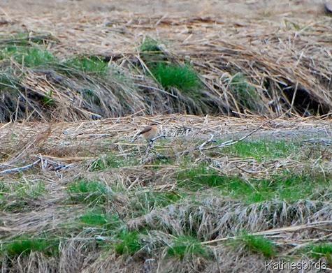 21. northern wheatear-kab