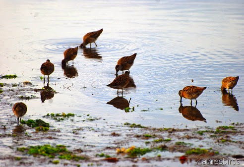 10. dowitchers-kab
