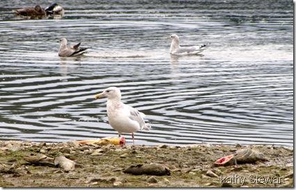 Gulls and Mallard