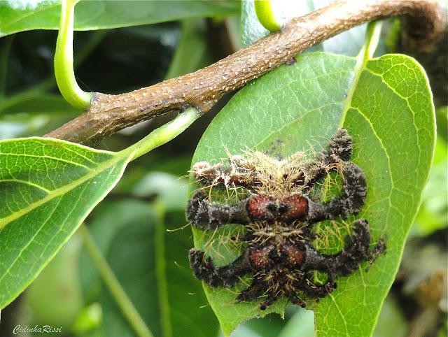 """Chenille de Limacodidae, probablement Phobetron hipparchia (CRAMER, [1777]) ( """"Lagarta-aranha"""", les poils sont considérés comme urticants). Colider (Mato Grosso, Brésil), 9 avril 2010. Photo : Cidinha Rissi"""