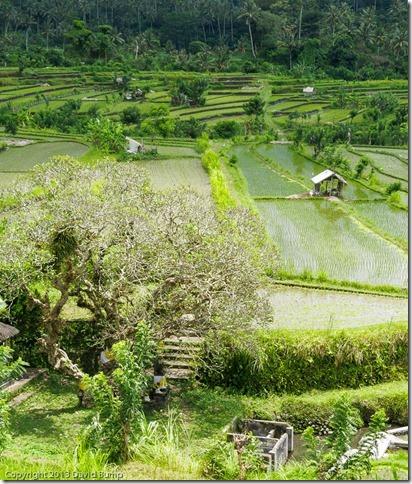 Bali Fields