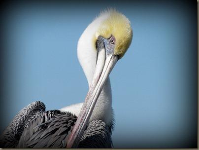 closeup of pelican