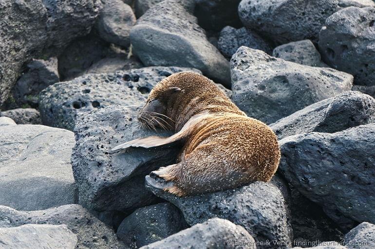 Seelöwenbaby schläft auf einem Felsen, Galapagos