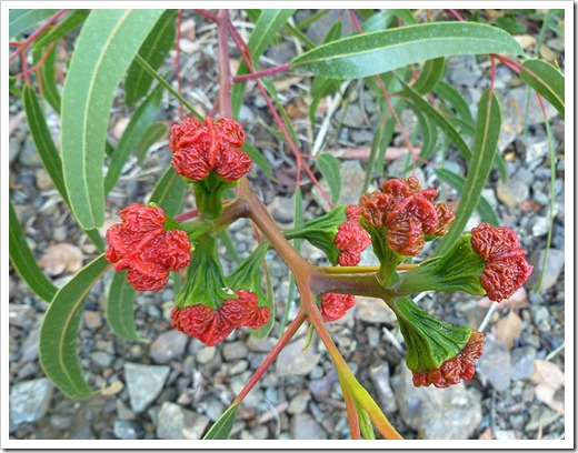 111008_rbg_eucalyptus_seeds