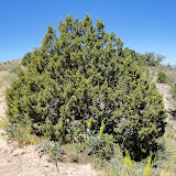 Juniperus monosperma - One See Juniper (I think)