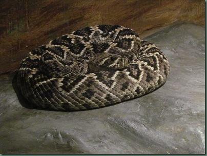 diamond back rattlesnake