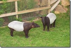 2011.07.26-035 tapirs malais