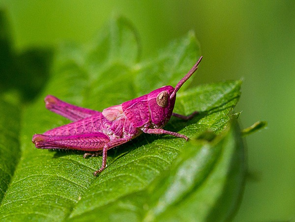 Pink grasshopper 01