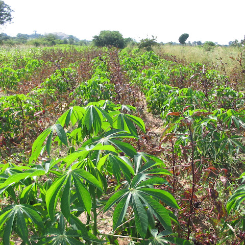 Cassava, a root crop, growing in lines on their land.
