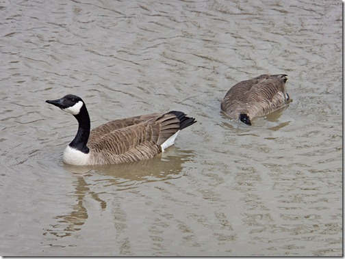 DSCF0627_ACR_CS5_geese