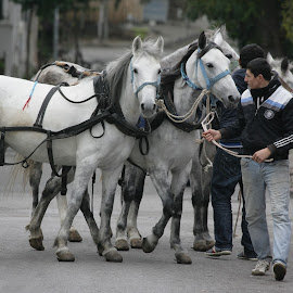 Horses of Prince Islands  by Rüstem Baç - City,  Street & Park  Street Scenes ( horses, autumn, prinkopi, prince islands istanbul, istanbul )