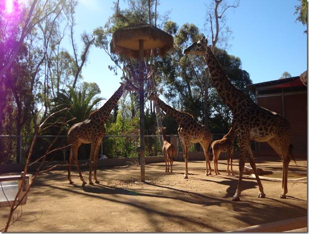 SD Zoo 008