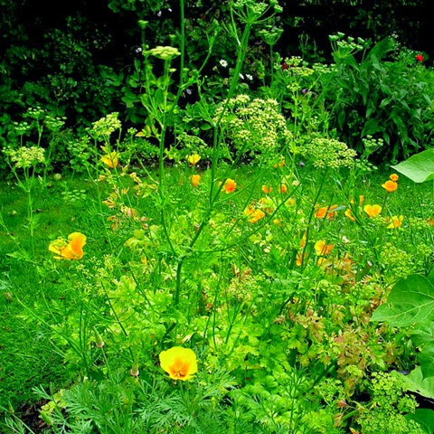 california poppies and parsley gone to seed