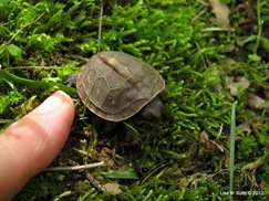 baby box turtle with fingertip for scale