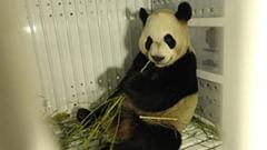 Panda in plane