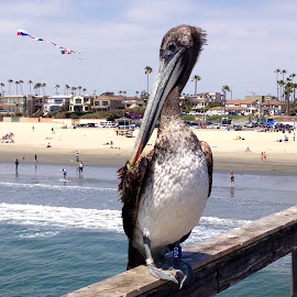 Pelican on Seal Beach Pier by Michael Loen - Instagram & Mobile iPhone ( bird, water, waves, kite, pier, beach, pelican )