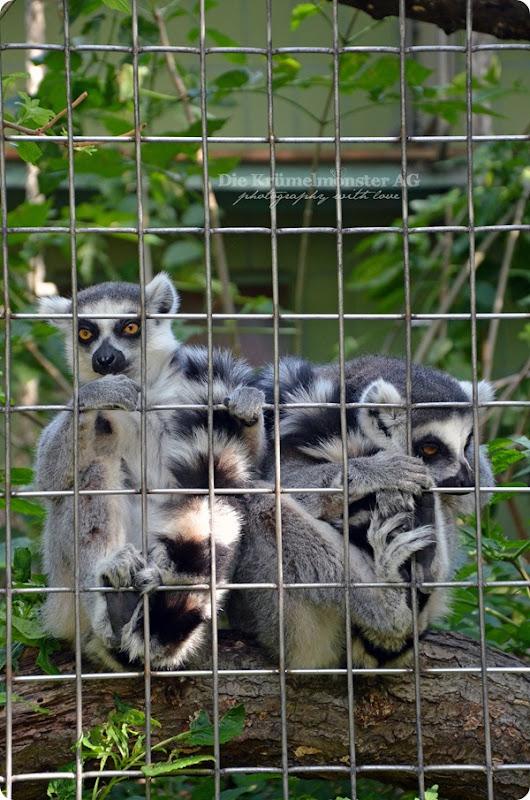 Zoo Frankfurt Kattas 150813 (2)