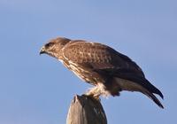 aguia-de-asa-redonda1