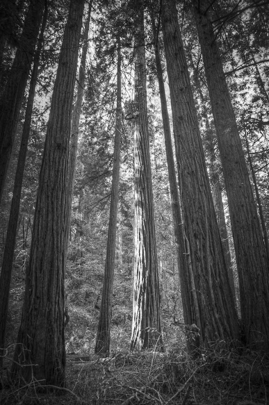 Muir Woods Black and White-4