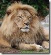 lionhead_thumb